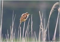 オオヨシキリ 相変わらず・・・ - 野鳥の素顔 <野鳥と・・・他、日々の出来事>
