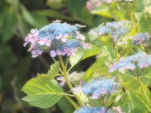 『弓削(ゆげ)寺の紫陽花風景』 - 自然風の自然風だより