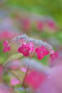山紫陽花 - tokoのblog