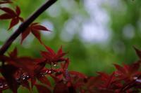 雨の庭 - ブナの写真日記