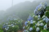 大川原高原のあじさい - ブナの写真日記