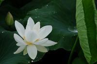 ハスの花 - ブナの写真日記
