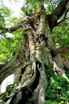 島根県出雲大社命主社、ムクの巨木2日目 - KuriSalo天然酵母ちいさなパン教室と日々の暮らしの事