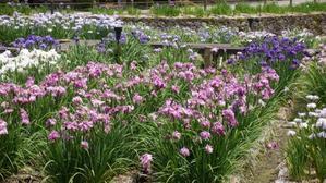金沢・卯辰山花菖蒲園(2017.06.23) - 花の音色に誘われて。。。