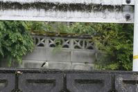 キセキレイ幼鳥 - くろせの鳥