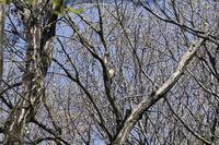 アオゲラ - くろせの鳥