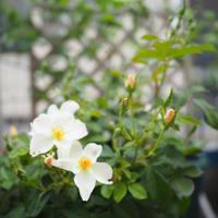 薔薇の庭仕事と気になっていた家仕事と - * cinqante - サンカント *