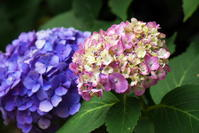 白山神社の紫陽花 - 悠々緩緩 月見で一杯
