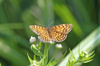 ウスイロヒョウモンモドキ  草間台地でひっそりと - 蝶のいる風景blog