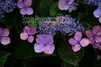 雨と紫陽花 - スポーツカメラマン国分智の散歩の途中で