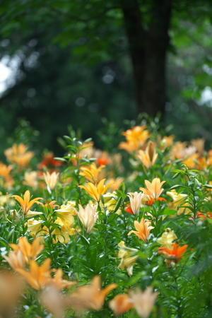 所沢ゆり園で百合の香りを堪能してきました。 - 優しい時間 by gintaro