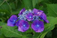マイガーデンの紫陽花と薔薇の花 - 季節の風を追いかけて
