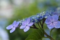 雨後の紫陽花 下仁田あじさい園 ①  - 風の彩り-2