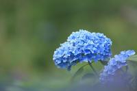 雨後の紫陽花 下仁田あじさい園 ② - 風の彩り-2