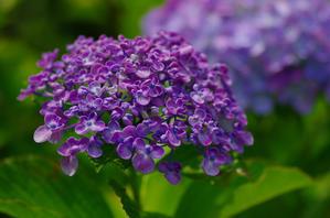 「生きる。撮る。」10年目に東慶寺紫陽花 - 生きる。撮る。