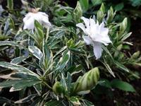 斑入り葉クチナシ - ろりぽりの花