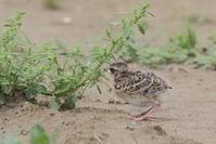 今日の鳥見(2017年6月26日) - ほとんど野鳥写真日記