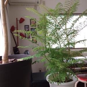 ジャカランダの鉢植え - そらまめのおうち
