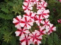 夏花壇その1 バーベナ ラナイ - 台町公園ブログ
