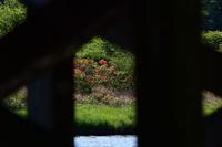 覚満渕でレンゲツツジ - 『私のデジタル写真眼』