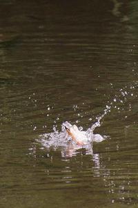 カワセミ、♀の水浴びダイビング - 武蔵野散歩Ⅱ