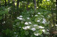 四季の花山歩 ~ 山路の小紫陽花 ~ - あんだんて♪の、人生の忘れものを探しに・・・
