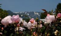 まだまだバラがすごい - 標高480mの窓からⅡ
