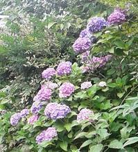 サツマイモと紫陽花 - シニアMasakoの日々