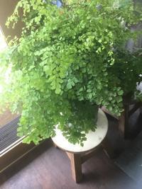 アジアンタムの鉢植えが涼しげです - ルーシュの花仕事