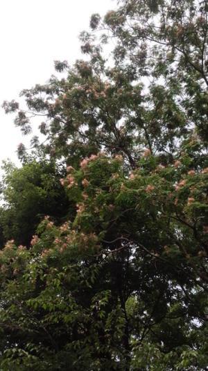 ねむの木香る - がちゃぴん秀子の日記