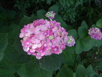 色とりどり、梅雨の時期の楽しみ。 - 嵐山ハイブリッド美術館日記