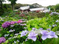 大聖寺の紫陽花 - 信仙のブログ