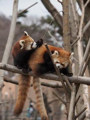 とある日のキンギン姉妹 1 - レッサーパンダとKOOL