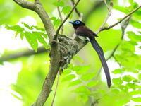 サンコウチョウ - 『彩の国ピンボケ野鳥写真館』