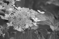 紫陽花*monochrome - 気ままにお散歩