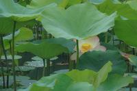Lotus fantasy 2 - 気ままにお散歩