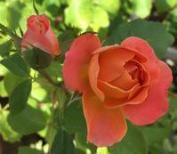 薔薇の名はパパガオ - 「美は観る者の眼の中にある」