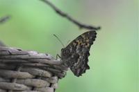 ヒカゲチョウ - 鹿深の森