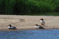 ニムオロ原野の旅(北海道)走古丹 - cuccooの野鳥エトセトラ