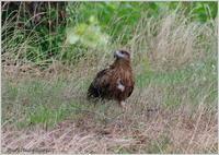 トンビが田んぼの畔に - 野鳥の素顔 <野鳥と・・・他、日々の出来事>