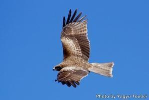 間近を飛ぶ青空のトビ - とことん写真