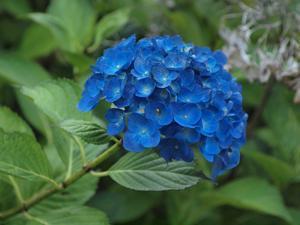 『紫陽花咲く風景~ (弓削寺にて)』 - 自然風の自然風だより
