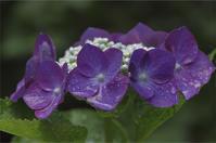 ●● 雨滴がたっぷり・・・紫陽花 ●● - kameのフォトブック2