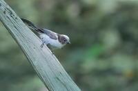 エナガの幼鳥 - 上州自然散策2