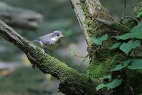ヤマガラの幼鳥 - 上州自然散策2