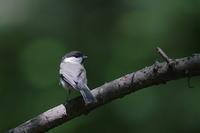コガラの幼鳥 - 上州自然散策2