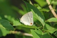 ヒロオビミドリシジミ  草間台地のゼフィルス - 蝶のいる風景blog