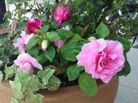 バラ咲きインパチェンス(カリフォルニアローズ・フィエスタ) - 加藤ピアノ教室(鳥取県倉吉市・日南町)             教室とピアノ教師の日記
