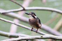 カワセミのチビちゃん 至近のキセキレイ - 今日の鳥さんⅡ