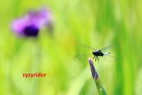 元気なシオカラトンボ - ジージーライダーの自然彩彩